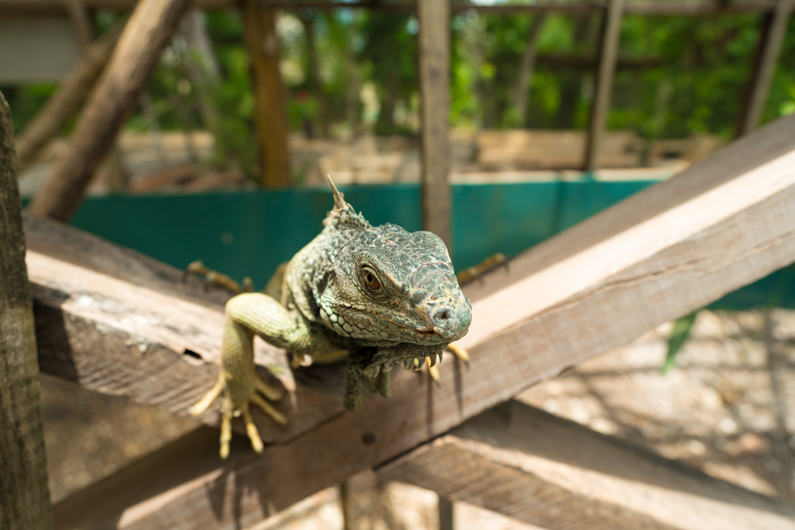 Visiting The Green Iguana Conservation Project