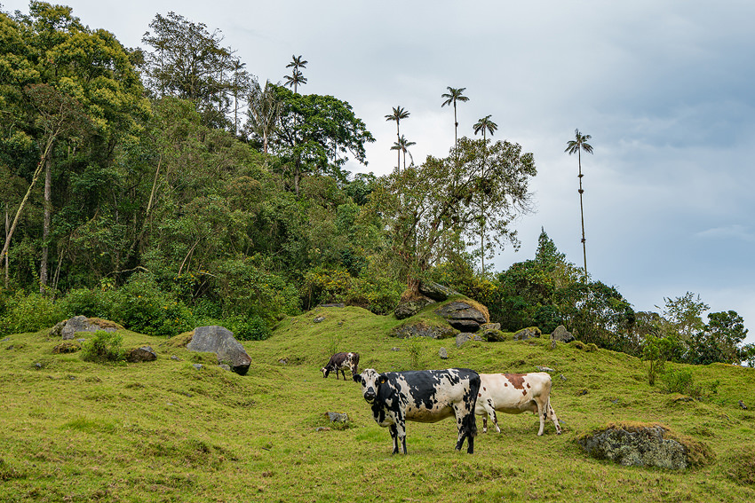 Valle de Cocora Cows