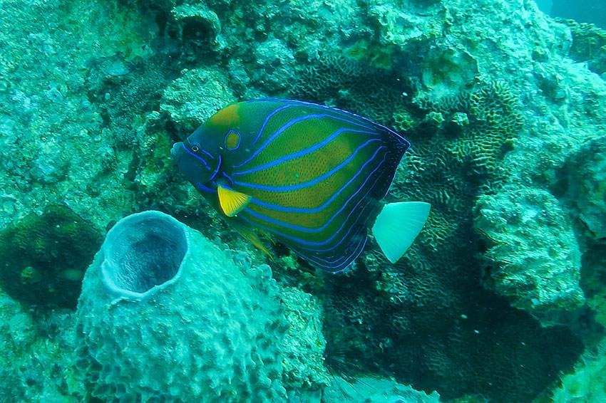 Salt Water Angel Fish At Twins, Koh Tao