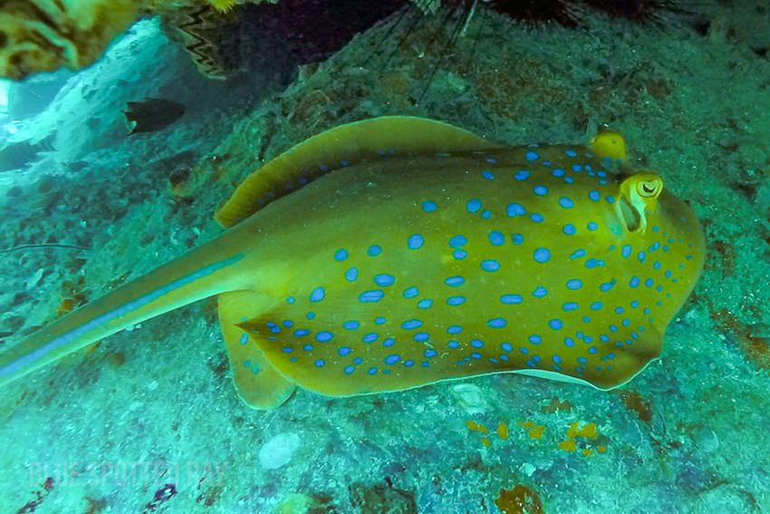 Blue Spotted Ray At White Rock, Thailand